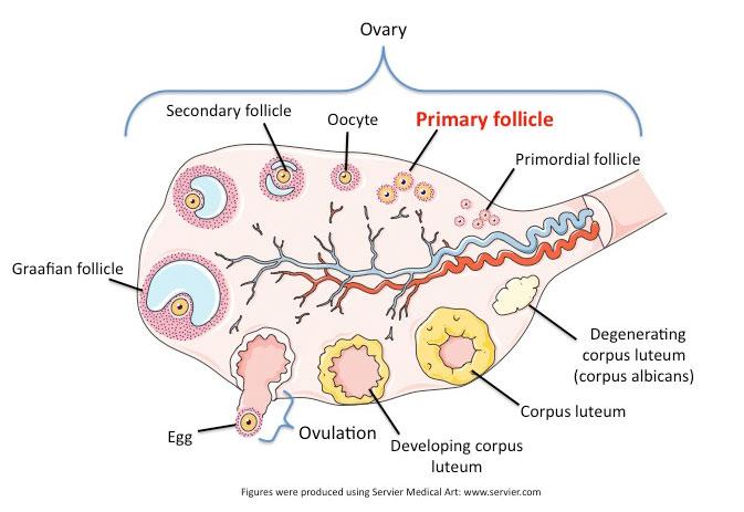 Primary Ovarian Follicle Repropedia