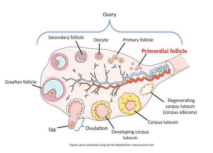 Vesicular Follicle Repropedia