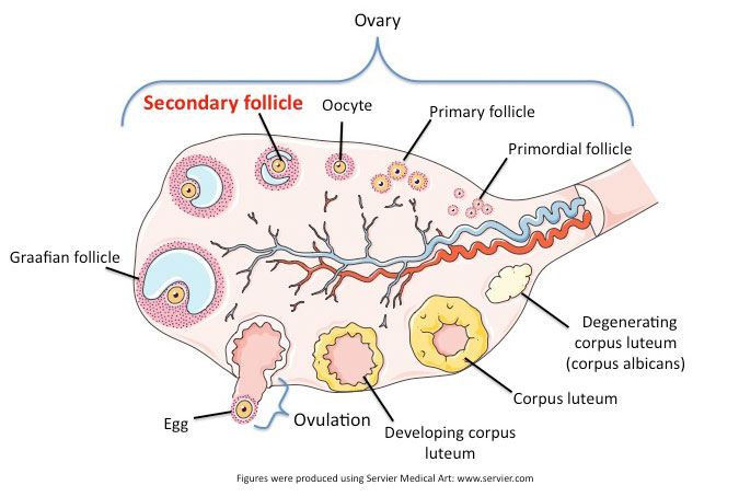 Ovarian follicles contain mature eggs