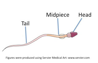 Sperm cell midpiece
